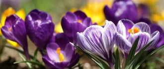Первоцветы, фото