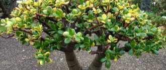 Денежное дерево крассула